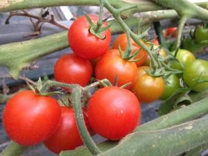 ⑤トマトとまと