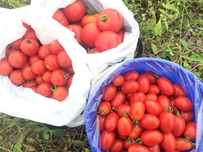 写真 2016-08-02 tomato