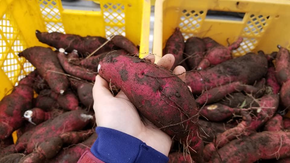 サツマイモ掘り収穫イベント